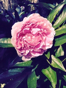 Peony from my garden.