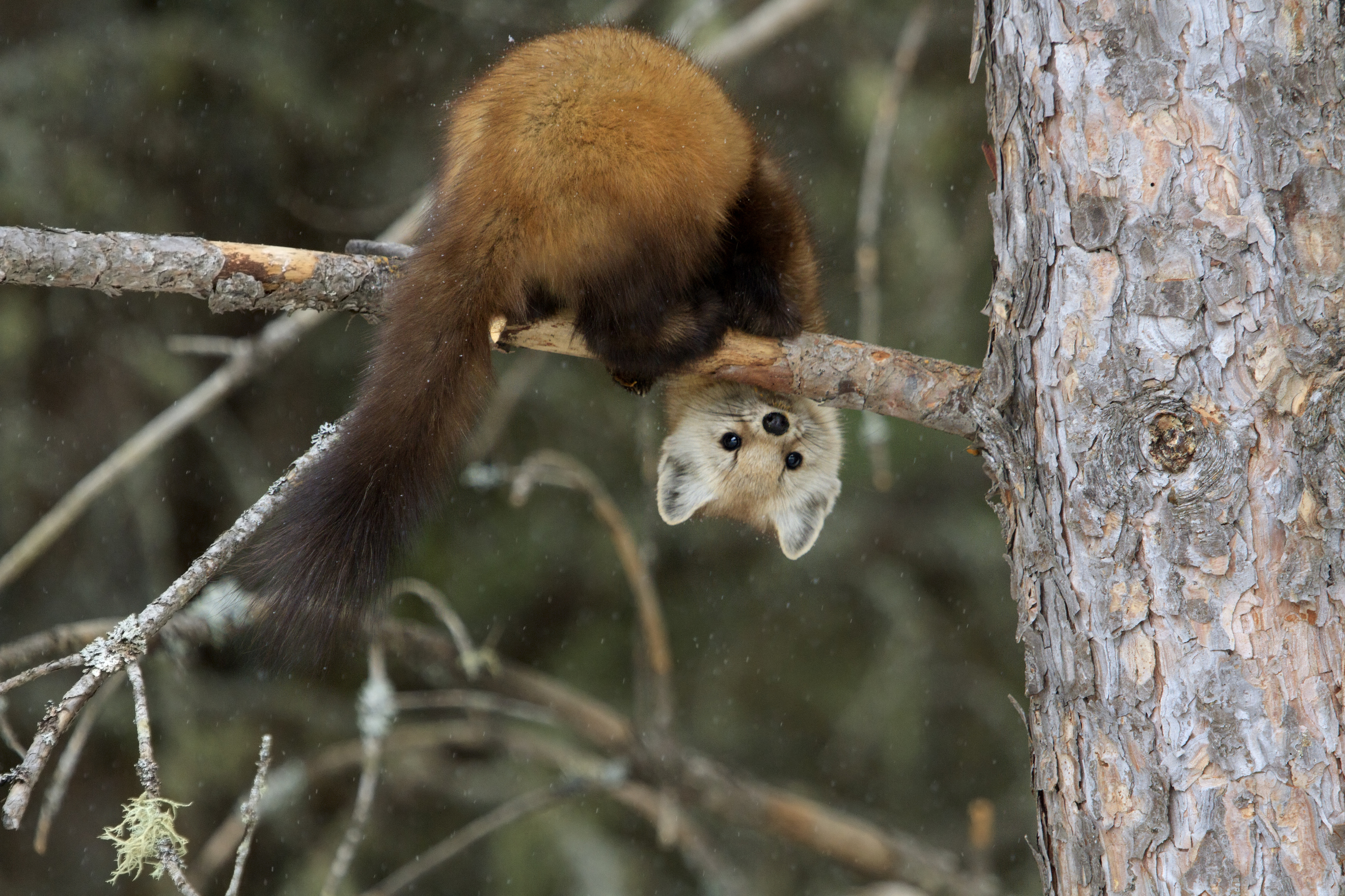 Which way is up, says the pine marten